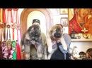 Щенки кавказской овчарки, кобели 2 месяца. www.r- 7 926-22j-56-03 Татьяна Ягодкина.