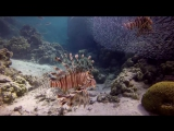 Red Sea Dahab-Lion Fish