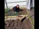 Обычный день в России медведь помогает на даче сажать картошку...