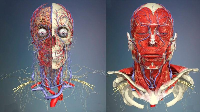 3D Анатомия человека - голова и шея, вид спереди. 3d fyfnjvbz xtkjdtrf - ujkjdf b itz, dbl cgthtlb.