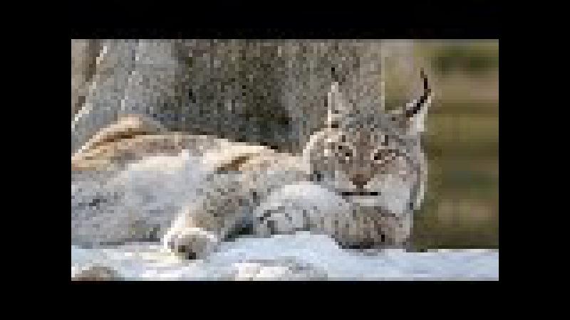 Рысь. Самая северная дикая кошка