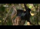 Щитоносная райская птица Виктории. Брачный танец.
