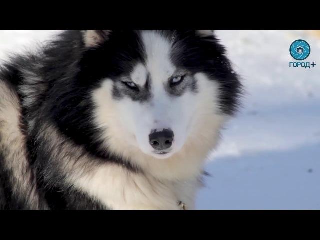 Хаски центр Катание на собачьей упряжке