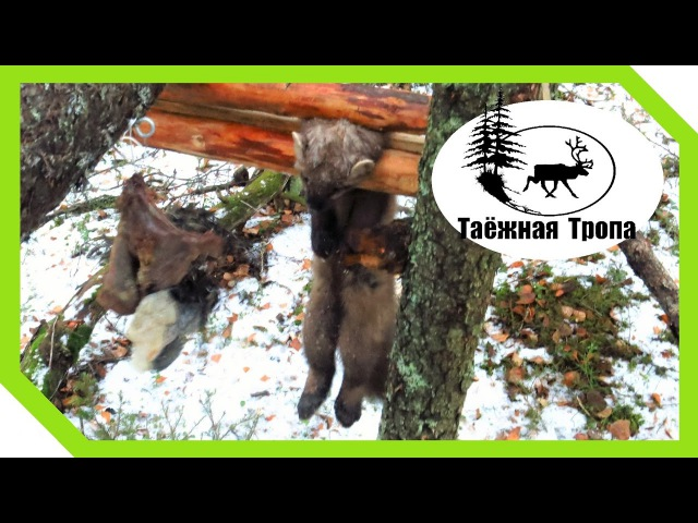 Охота на куницу капканами (1). Кулёмка и ящик | Checking marten traps (1)
