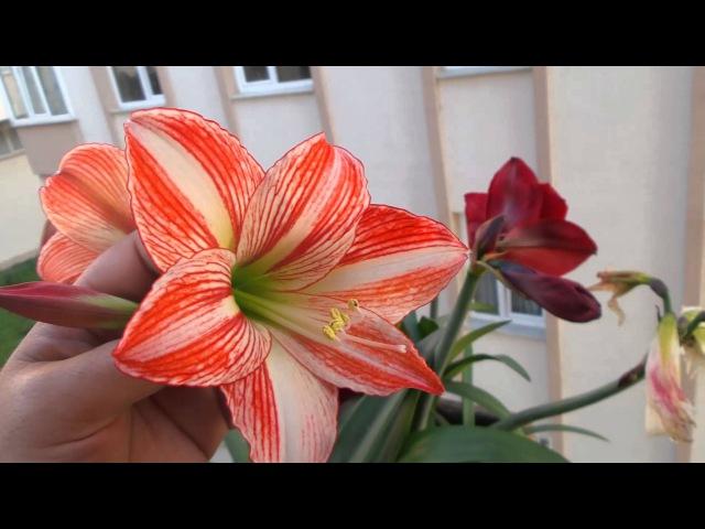 Amaryllis hippeastrum nergis zambağı 2