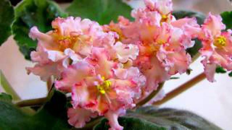 Sunkissed Rose (Санкиссед роуз) (LLG/D. Herringshaw). Видео обзор сорта фиалки