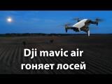 Квадрокоптер Dji mavic air гоняет лосей в сумерках