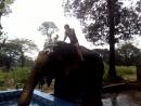 слоны на плантации