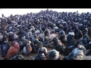 Ноябрьские суровые голуби, напоминают стойбище пингвинов или морских котиков