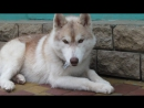 ISLAND TREASURE KINGDOM HUSKY