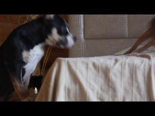 American Bully & Abyssinian cat . GaidJewel's kennel.