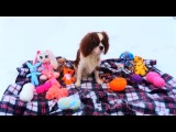 Cavalier King Charles spaniel Tim, 1 year