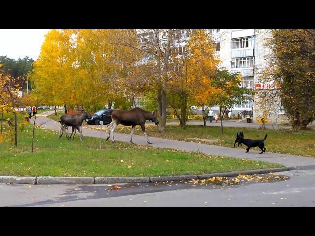 Лосиха с лосятами и собаки. Город Заречный.