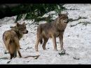 Cultus Ferox Wolfsballade