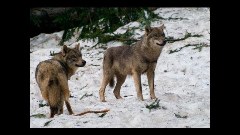 Cultus Ferox - Wolfsballade