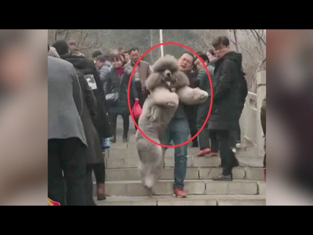 Chinese man struggles to carry oversized poodle down steps