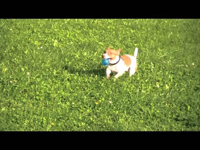 Воспитание щенка Джек Рассел терьера dogclass.ru/