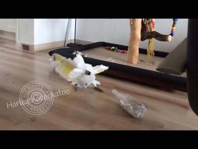 Harley the cockatoo