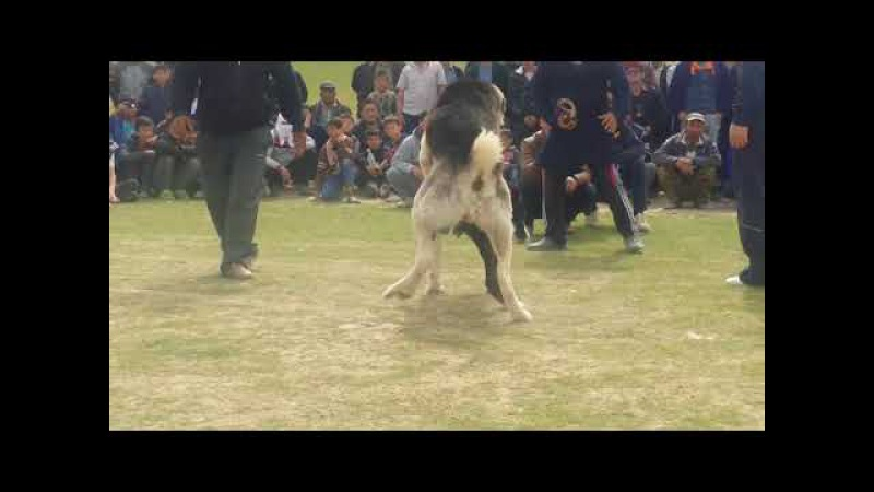 İt urshy 2017 | собачий бой 2017 | dog fighting 2017