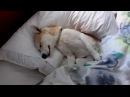 Умный щенок притворяется чтобы не идти к ветеринару! СМОТРЕТЬ ВСЕМ!