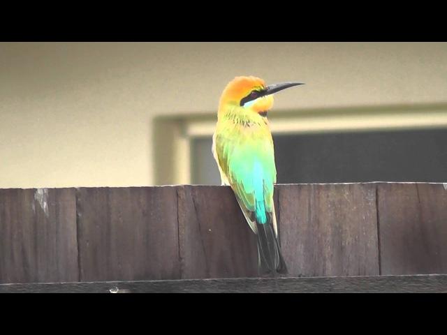 Rainbow Bee-eater Радужная щурка Merops ornatus