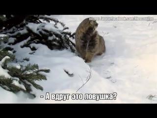 Манул в чём-то заподозрил снег