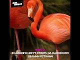 Три интересных факта о фламинго. Орел и Решка