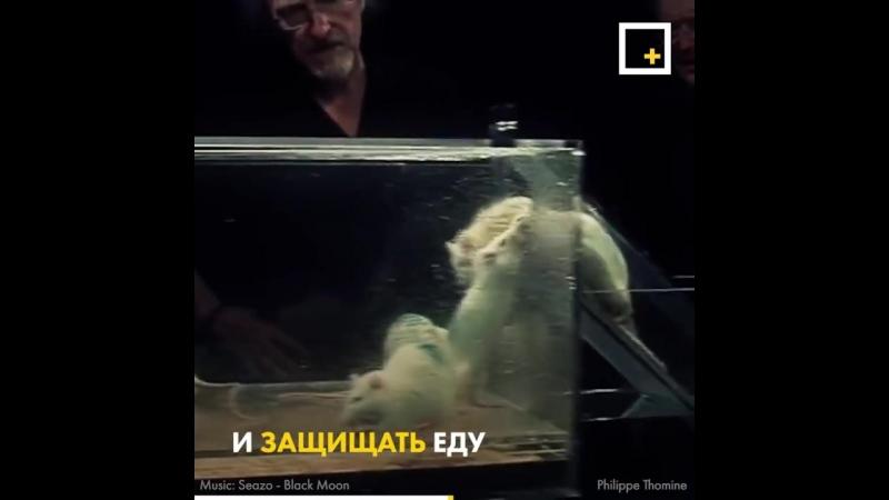 Эксперимент с шестью крысами смотреть онлайн без регистрации