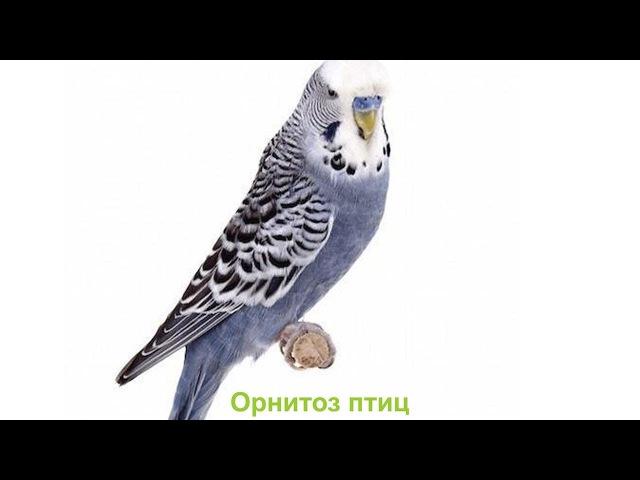 Орнитоз птиц. Ветеринарная клиника Био-Вет.