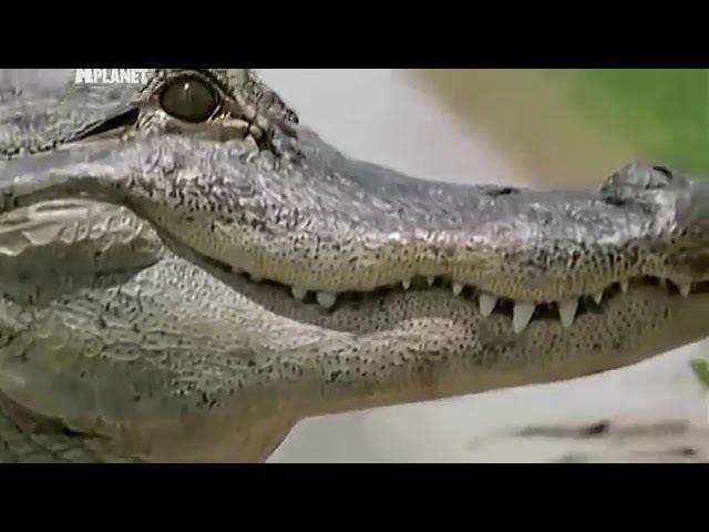 Людоеды Аллигаторы и крокодилы Animal Planet