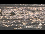 Polar Bears Crossing Thin Ice