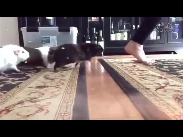 морские свинку бегут кушать