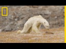 Heart-Wrenching Video Starving Polar Bear on Iceless Land National Geographic