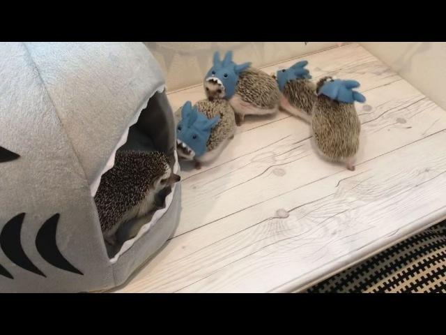 ラド ィンク on Instagram * Yesterday was a family party of hedgehogs 🦔🦈 * * 昨日は、 ファミリー会 でした。 みんなで @ganmohedgehog の マスコット顔ハメ で。 このサメの顔ハメは本当は販売していないのを