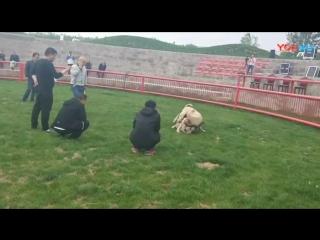 kangal VS bully kutta