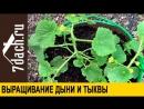 Выращивание дыни и тыквы- как правильно сформировать растение - 7 дач