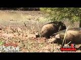 Pig Out приманка-гель для кабанов, лосей, медведей