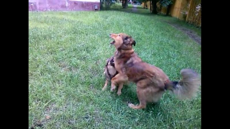 Самый лучший пес! Мой друг и тренер Плут! 2-я серия