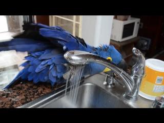Попугай моется