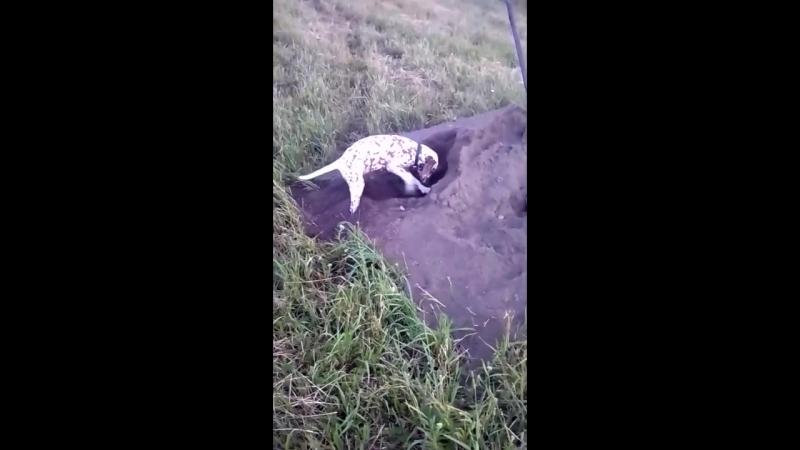 Лэсси роет свою первую яму)