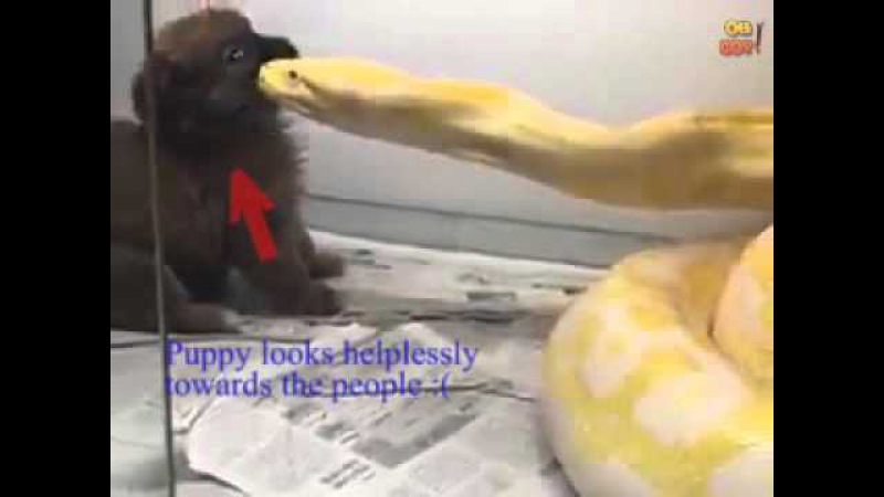 Python attacks puppy- RE-UPLOADED WITH DETAILS OF INCIDENT