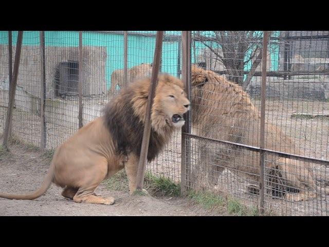 МОЛОДОЙ ЛЕВ ЧУК СТАЛ ВЫЯСНЯТЬ КТО СИЛЬНЕЕ с самым злым львом Тайсоном Тайган Крым
