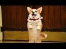 ТОП самых лучших танцующих собак в МИРЕ!