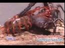 Giant killer centipede vs emperor scorpion battling bugs fight