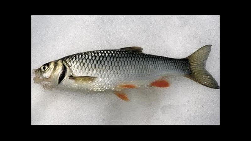 Зимняя рыбалка. Голавль малых рек. Что не так?