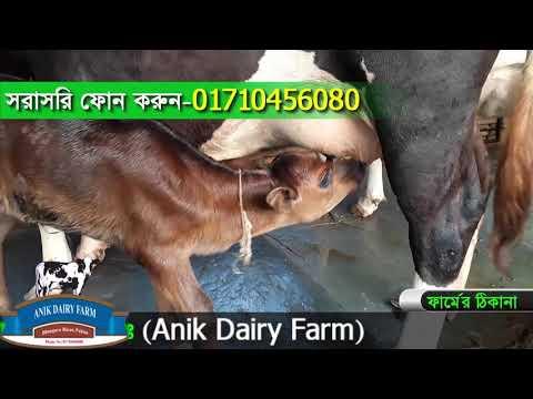 Dairy Farming in Bangladesh Pabna Anik Dairy Farm