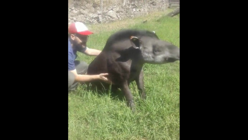 Тапиры любят щекотку