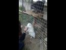 Енот, лиса и собака-енот...