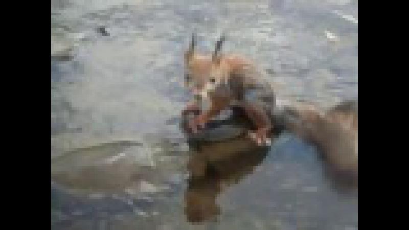 Белка переплывшая небольшую реку./A squirrel swim across a small river.