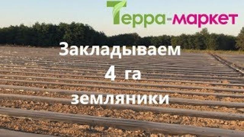 Закладываем новую плантацию клубники Питомники рассады земляники